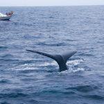Ballenas jorobadas en costas de Ecuador stockipic