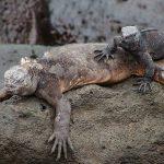 Galapagos : Iguanas