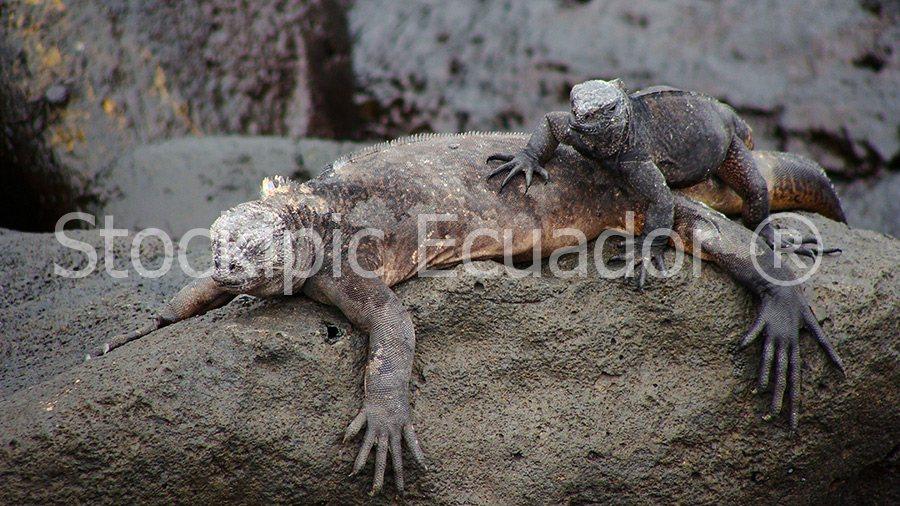 Galapagos : Iguanas Stockipic