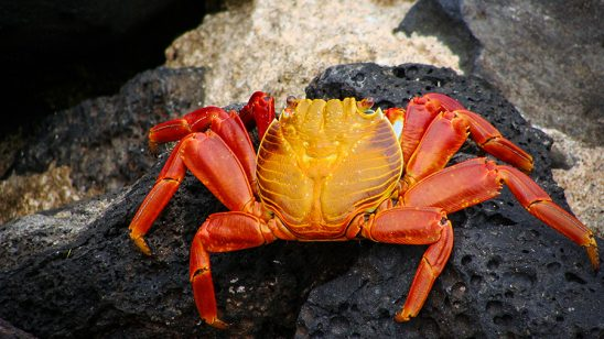 Galapagos : Zayapa | Crab Stockipic
